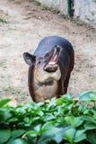 Φώναξε το tapir Στοκ Εικόνες