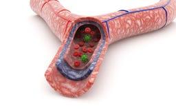 Φλέβα αίματος και κόκκινα κύτταρα αίματος στοκ φωτογραφία με δικαίωμα ελεύθερης χρήσης