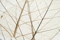 Φλέβα του ξηρού φύλλου Στοκ εικόνα με δικαίωμα ελεύθερης χρήσης