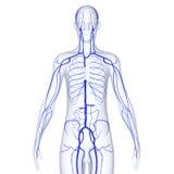 Φλέβες σώματος διανυσματική απεικόνιση