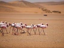 Φλαμίγκο Μάρτιος στην έρημο Namib Στοκ Εικόνα