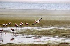 Φλαμίγκο Ναμίμπια Αφρική Στοκ Φωτογραφίες