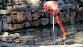 Φλαμίγκο που στέκεται σε μια one-legged στρουθοκάμηλο ποδιών