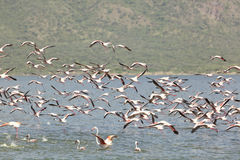 Φλαμίγκο στη λίμνη Bogoria, Κένυα Στοκ εικόνα με δικαίωμα ελεύθερης χρήσης
