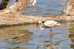 Φλαμίγκο στη λίμνη Bogoria, Κένυα Στοκ φωτογραφίες με δικαίωμα ελεύθερης χρήσης