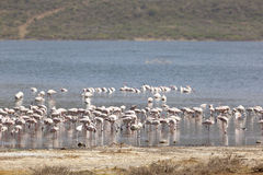 Φλαμίγκο στη λίμνη Bogoria, Κένυα Στοκ φωτογραφία με δικαίωμα ελεύθερης χρήσης