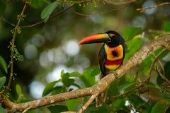 Φλογερός-τιμολογημένο Aracari, frantzii Pteroglossus, πουλί με το μεγάλο λογαριασμό Συνεδρίαση Toucan στον κλάδο στο δάσος, Boca  Στοκ Εικόνες