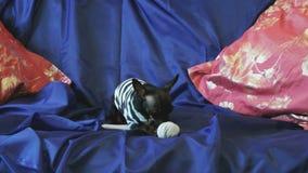 Φλοιοί και παιχνίδια παιχνίδι-τεριέ σκυλιών με ένα παιχνίδι στον καναπέ απόθεμα βίντεο