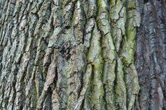 Φλοιός, δέντρο, σύσταση Στοκ Εικόνες