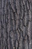 Φλοιός 2 δέντρων λευκών Cottonwood Στοκ Φωτογραφίες