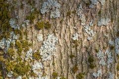 Φλοιός δέντρων με τη σύσταση βρύου και λειχήνων Στοκ Εικόνες