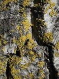 Φλοιός δέντρων με τη σύσταση βρύου και λειχήνων Στοκ Φωτογραφία
