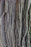 Φλοιός δέντρων με τις ρωγμές και τις ραβδώσεις Στοκ φωτογραφία με δικαίωμα ελεύθερης χρήσης