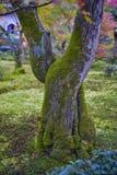 Φλοιός δέντρων που καλύπτεται με το βρύο στον κήπο σφενδάμνου κατά τη διάρκεια του φθινοπώρου στην Ιαπωνία στοκ εικόνα με δικαίωμα ελεύθερης χρήσης