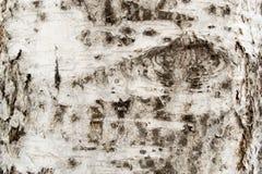 Φλοιός δέντρων σημύδων Στοκ Φωτογραφίες