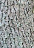 Φλοιός δέντρων τέφρας Στοκ Εικόνες