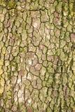 Φλοιός δέντρων ως υπόβαθρο Στοκ Εικόνες