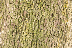 Φλοιός δέντρων ως υπόβαθρο Στοκ Φωτογραφία