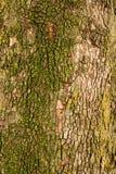 Φλοιός δέντρων ως υπόβαθρο Στοκ Φωτογραφίες