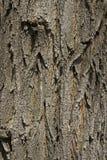 Φλοιός δέντρων Στοκ Εικόνα