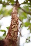 Φλοιός δέντρων Madrone αποφλοίωσης στοκ φωτογραφία με δικαίωμα ελεύθερης χρήσης