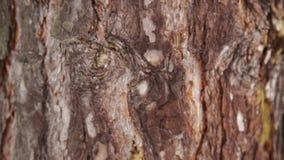 Φλοιός ενός μεγάλου δέντρου απόθεμα βίντεο