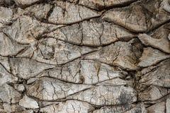 Φλοιός ενός φοίνικα Στοκ εικόνες με δικαίωμα ελεύθερης χρήσης