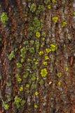 Φλοιός με το βρύο και μύκητας ως σύσταση υποβάθρου Στοκ Φωτογραφία
