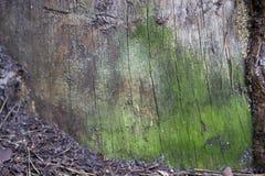 Φλοιός πεύκων που ντύνεται με την πράσινη μακροεντολή βρύου Στοκ εικόνες με δικαίωμα ελεύθερης χρήσης