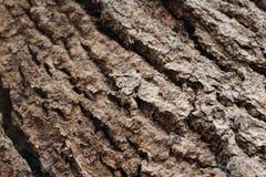Φλοιός σε ένα δρύινο δέντρο Στοκ Εικόνες
