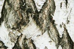 Φλοιός σημύδων Στοκ Φωτογραφίες