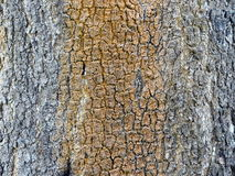 Φλοιός στο δέντρο Στοκ Εικόνες