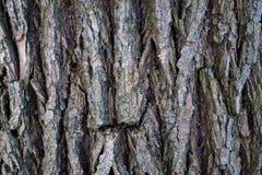 Φλοιός σύστασης αφαίρεσης υποβάθρου του παλαιού δέντρου Στοκ Εικόνες