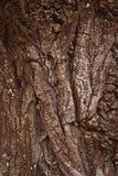 Φλοιός σύστασης του δέντρου πεύκων Στοκ εικόνες με δικαίωμα ελεύθερης χρήσης