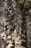 Φλοιός της λεύκας. Άνευ ραφής Tileable Στοκ εικόνα με δικαίωμα ελεύθερης χρήσης