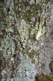Φλοιός της λεύκας. Άνευ ραφής Tileable Στοκ φωτογραφία με δικαίωμα ελεύθερης χρήσης