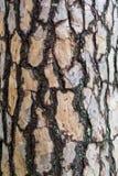 Φλοιός της σύστασης δέντρων πεύκων Στοκ Εικόνα