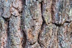 Φλοιός του δέντρου και της σύστασης πεύκων Στοκ Εικόνες