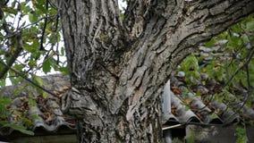 Φλοιός του δέντρου ξύλων καρυδιάς απόθεμα βίντεο