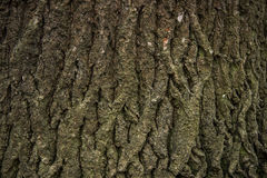 Φλοιός του δέντρου Στοκ Εικόνες