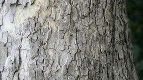 Φλοιός του δρύινου δέντρου απόθεμα βίντεο