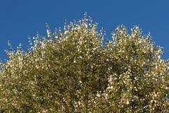 Φλυτζάνι της άσπρης λεύκας Στοκ Φωτογραφία