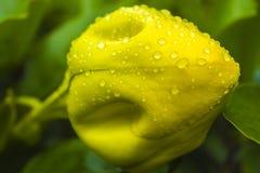 Φλυτζάνι του χρυσού οφθαλμού Στοκ εικόνα με δικαίωμα ελεύθερης χρήσης