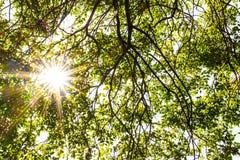 Φλόγα ήλιων αν και φρέσκα φύλλα στο φωτεινό χρόνο άνοιξη Στοκ Εικόνες