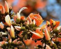 Φλόγα του δασικού νόθου Teak/παπαγάλων δέντρου (monosperma Butea) Στοκ Φωτογραφίες