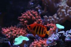 Φλόγα Angelfish στο θαλάσσιο ενυδρείο Στοκ Φωτογραφίες