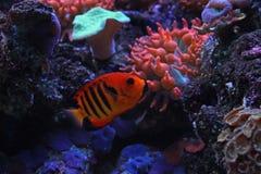 Φλόγα angelfish Στοκ Εικόνα