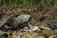Φλώριδα cooter, everglades στοκ φωτογραφίες