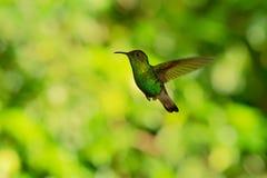 Χάλκινος-διευθυνμένη σμάραγδος - μικρό πετώντας κολίβριο Elvira cupreiceps ενδημικό στη Κόστα Ρίκα στοκ φωτογραφία με δικαίωμα ελεύθερης χρήσης