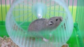 Χάμστερ στη ρόδα σε ένα κλουβί απόθεμα βίντεο